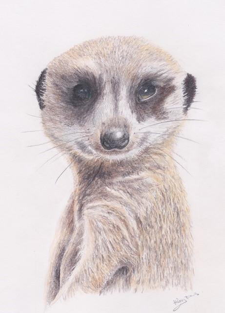 Ferns   meerkat